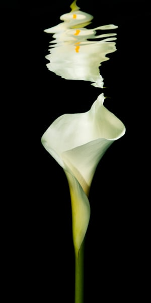 Reflection of a Cala Lily