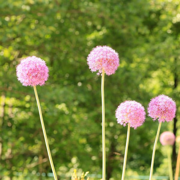 Puffy Pink Flowers