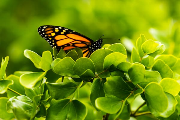 Hawaii Nature Photography | Monarch Oasis by Peter Tang