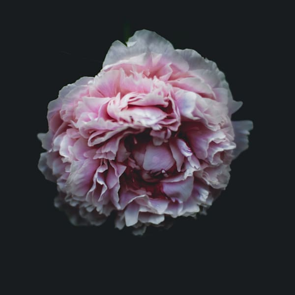 Moody Soft Peony Photography Art | Sage & Balm Photography