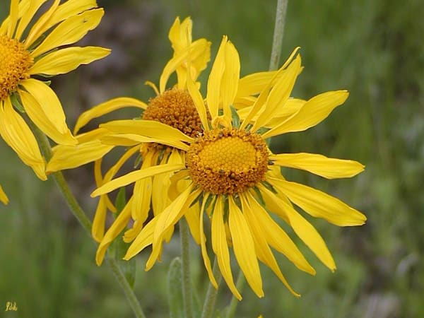 Orange Sneezeweed digital photograph by Maureen Wilks