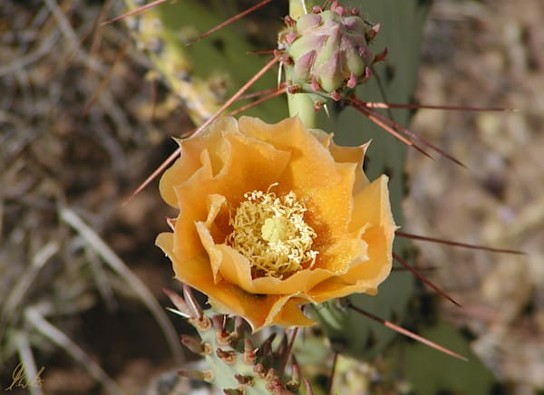 Orange Prickly Pear flower digital photograph by Maureen Wilks