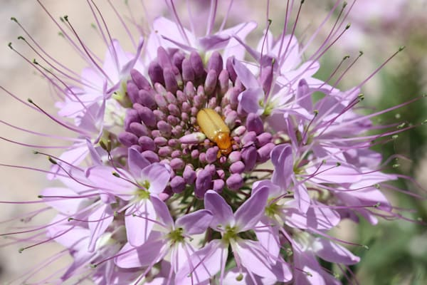 Rocky Mountain Bee plant with a bug digital photograph by Maureen Wilks