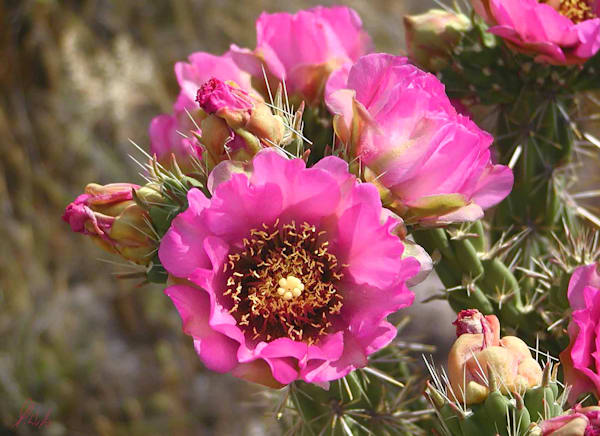 Walking Stick Cholla flower digital photograph by Maureen Wilks