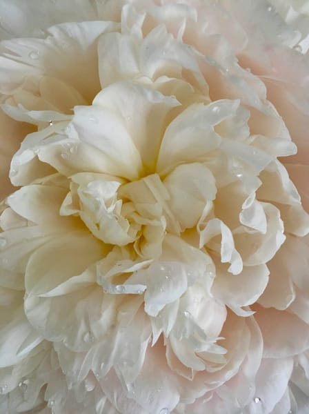 White Peony:  Seduction