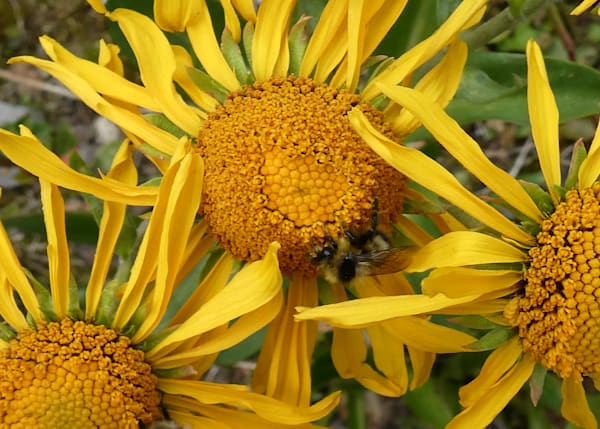 Orange Sneezeweed No. 2 digital photograph by Maureen Wilks