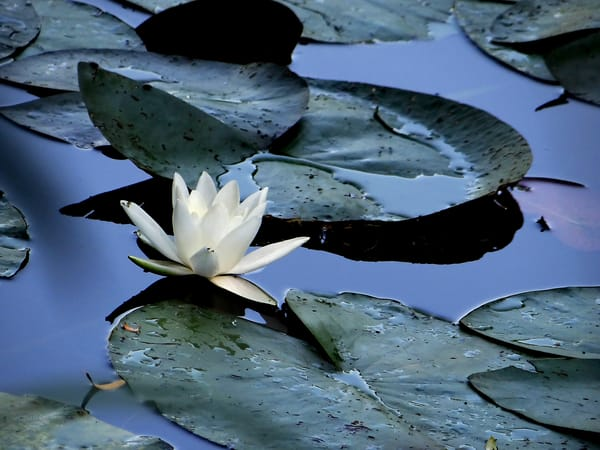 Water Lily In France Art | Roost Studios, Inc.