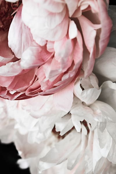 Land of Nod Peonies