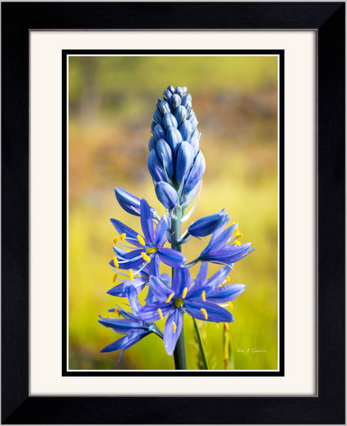 Purple Camas Wildflower II 1810157LNND8 Framed Photograph for Sale as Fine Art Print
