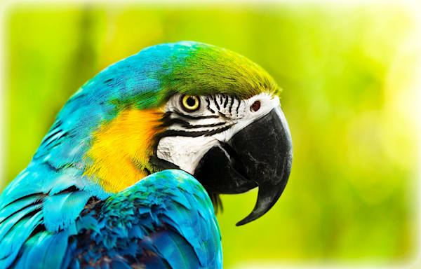 Exotic colorful African macaw parrot, beautiful close up on bird face over natural green background,