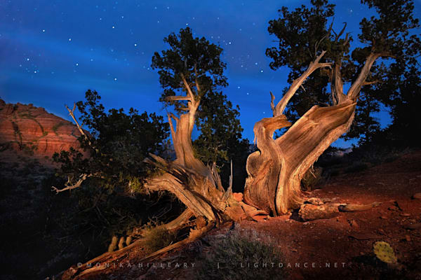 Rock Heart | Ancient Utah Juniper Tree | Sedona, Arizona