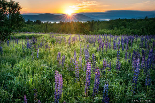 Sugar Hill New Hampshire Lupine wildflowers at Samplers Field/Fine Art Photography Prints