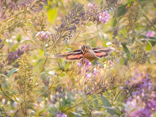 Hummingbird Moth Print