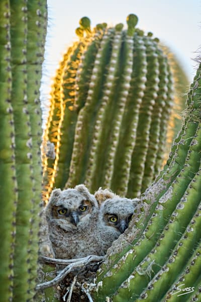 Great Horned Owl nestlings in a Saguaro cactus in Scottsdale, Arizona.