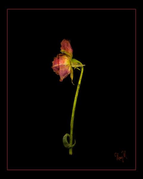 Flower Curvy Rose Art | FortMort Fine Art