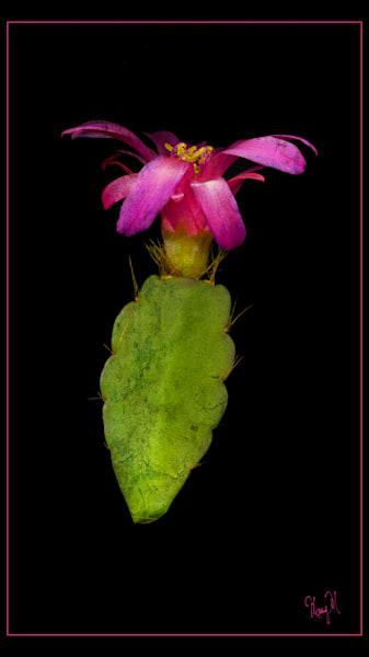 Flowers Cactus Flower Art | FortMort Fine Art