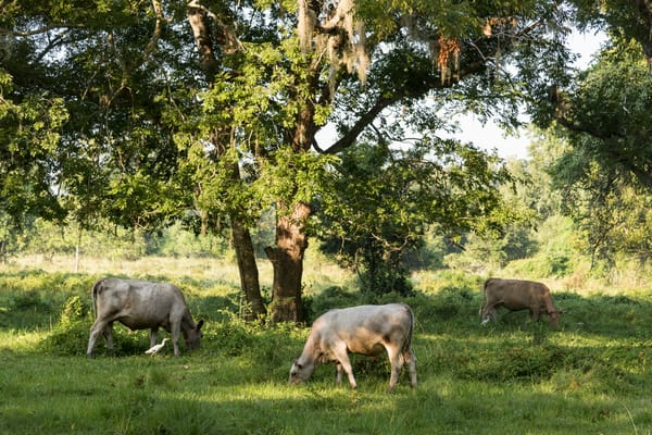 Cows and Live Oak Trees, Damon, Texas