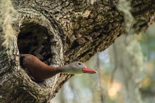 Black-bellied Whistling Duck in Tree, Damon, Texas