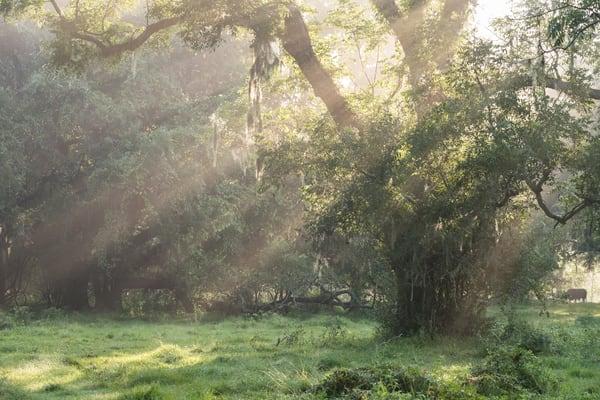 Live Oak Tree & Sun Rays, Damon, Texas
