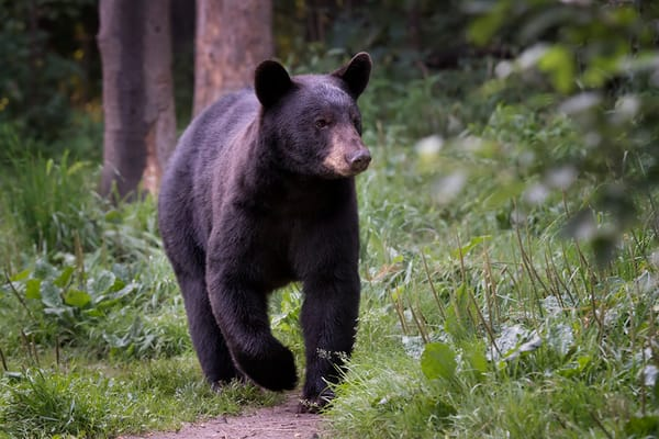 Here Comes a Bear