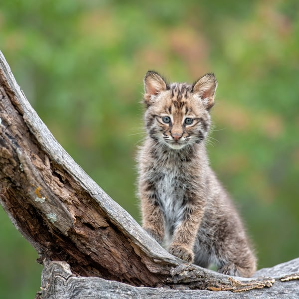 Lil Bobcat