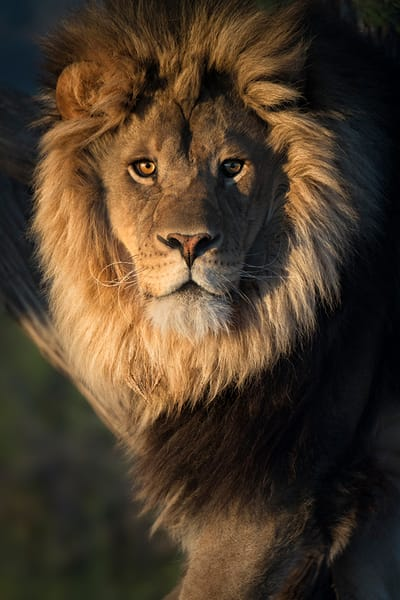 Sunrise on a Lions Mane