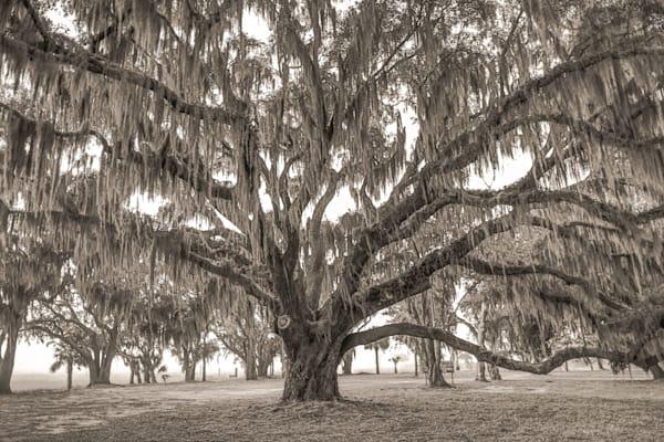 Lady's Island Live Oak