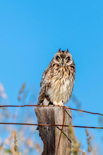 Hawaii Nature Photography   Hawaiian Owl by Leighton Lum