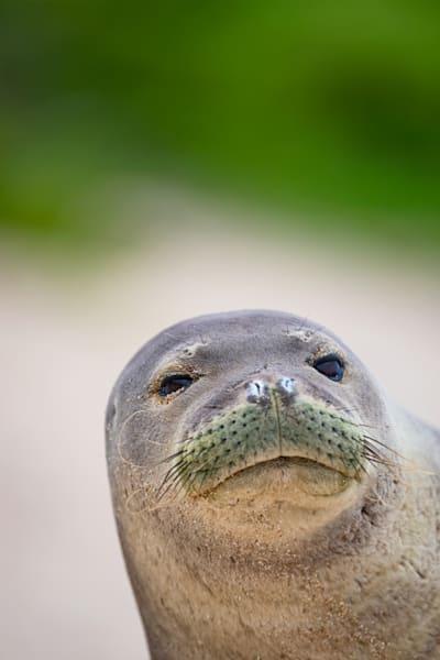 Hawaii Marine Life Photography | Monk Seal Portrait 2 by Leighton Lum