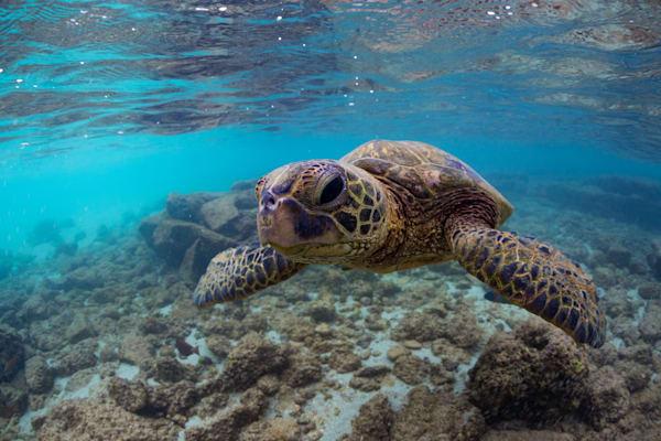 Underwater Photography | Friendly Honu by Leighton Lum
