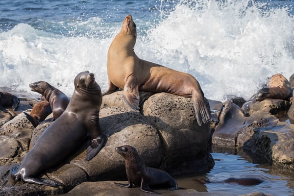 California Sea Lions, La Jolla, California