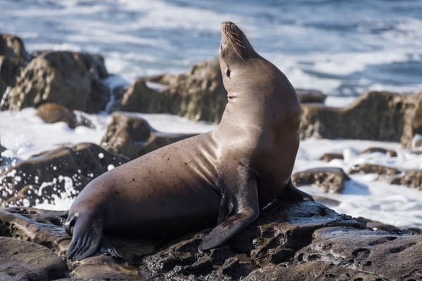 California Sea Lion, La Jolla, California