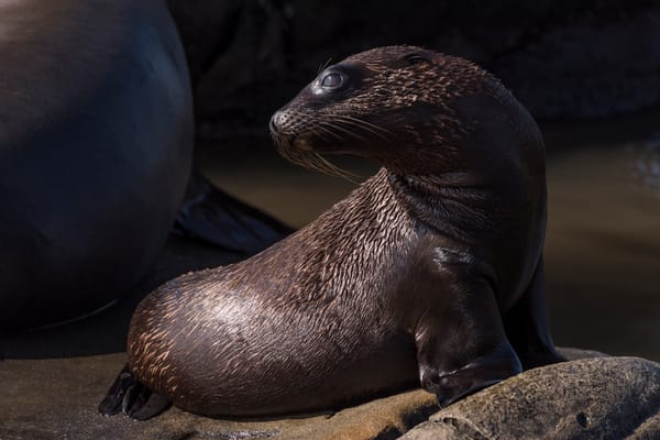 California Sea Lion Pup, La Jolla, California