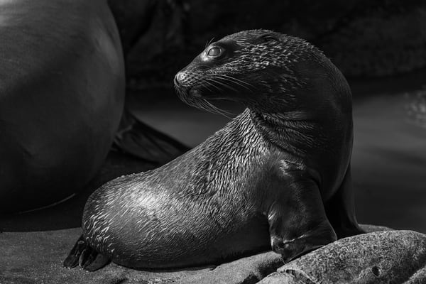 California Sea Lion Pup BW, La Jolla, California