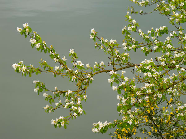 Blossoms on Water