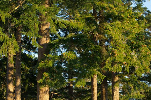 Evergreens Art | Northwest Image