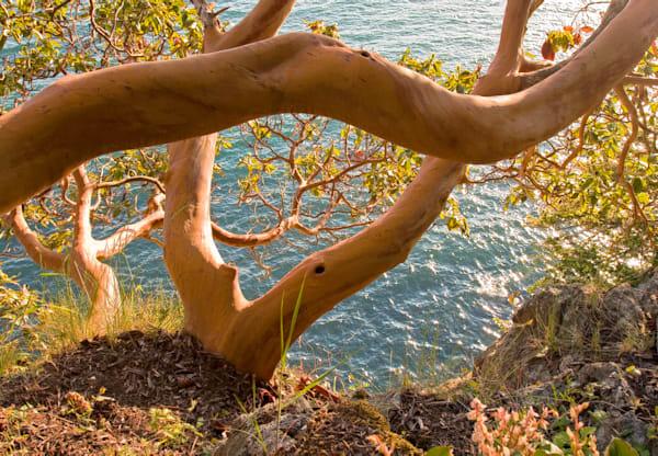 Marine Drive Madronas Art | Northwest Image