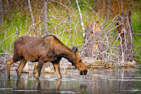 Cow Moose Feeding along Snake River - Grand Tetons