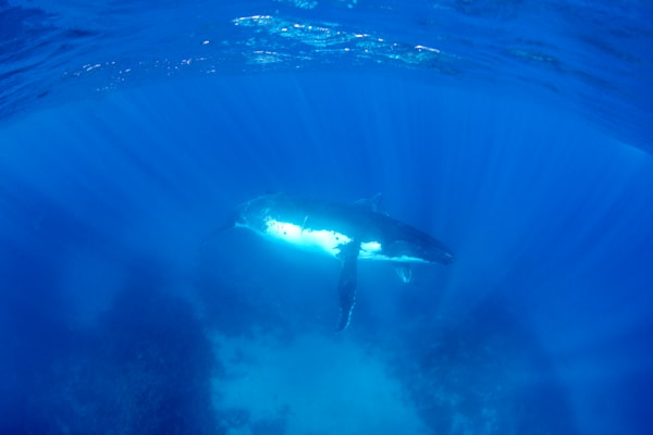 Whales over a Reef available as a fine art photograph for sale.