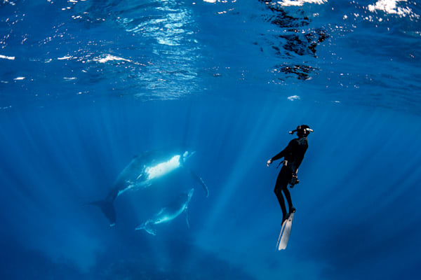 A freediver observes a Southern Humpback whale and calf available as a fine art photograph for sale.