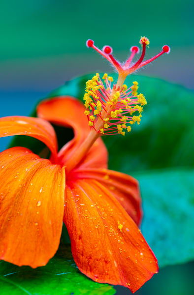 Hawaii Florals | Rare Native Hibiscus by William Weaver
