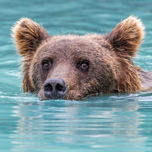 Swimming brown bear, square head shot