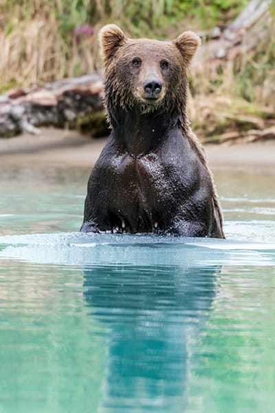 Alaskan brown bear standing up in glacial water.
