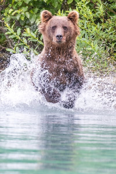 Alaskan brown bear charging into water.