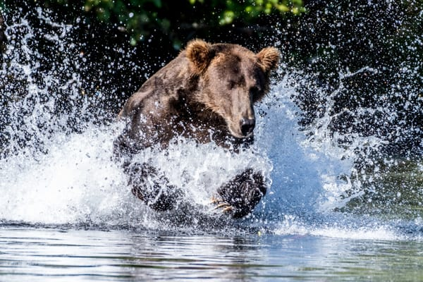 Large Alaskan brown bear hunting in water.