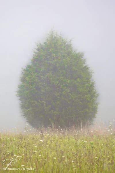 Evergreen in Fog