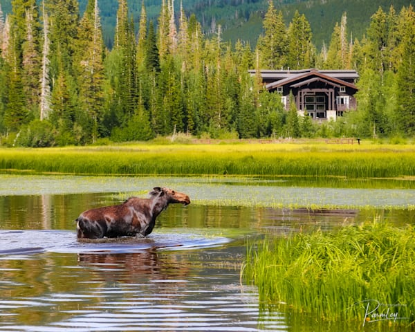 Wondering Moose at Silver Lake near Salt Lake City