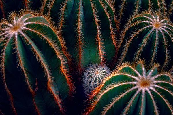 desert cactus plants