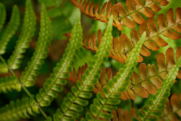 fern plants, fern leaves,