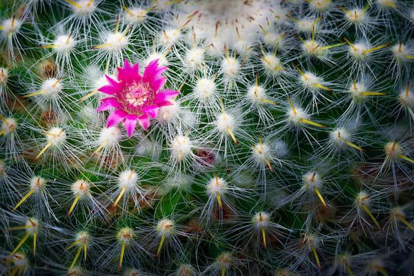 small cactus plants, flowering cactus,